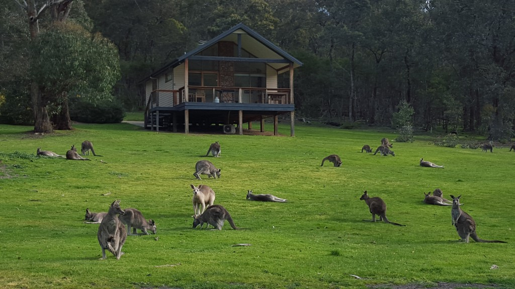 Cottage Kangaroos